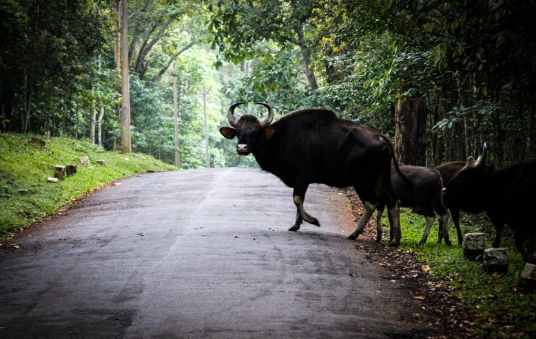 Bisons crossing the road on the Kumily - Thekkady road